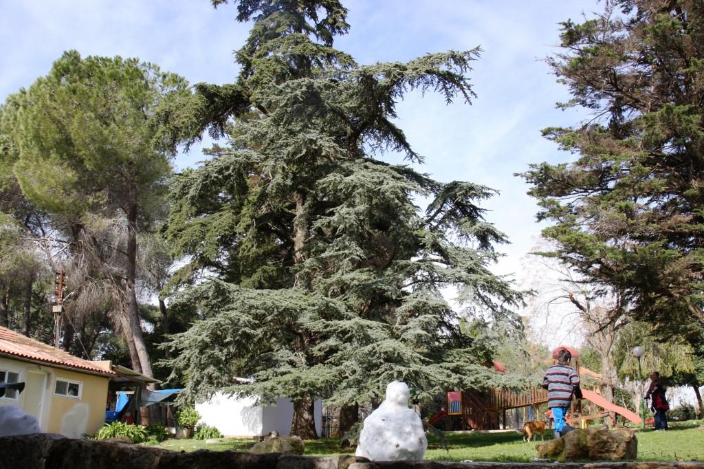 maale-hahamisha-5653-cedar-of-lebanon