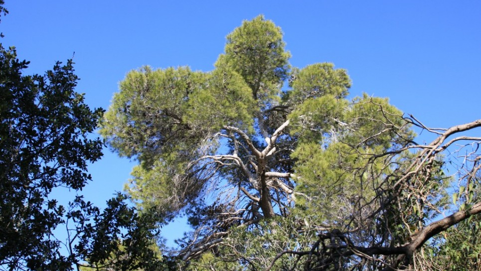 masrek-5565-jerusalem-pine-tree-965x543