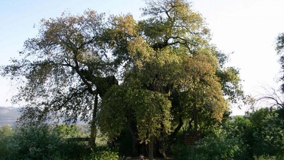 oak-tree-d2983-tzuba--965x543