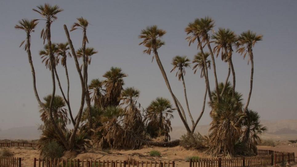 doum-palms-3415-965x543