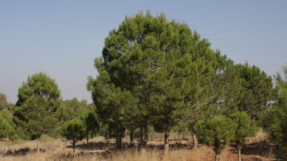 stone-pine-965x543